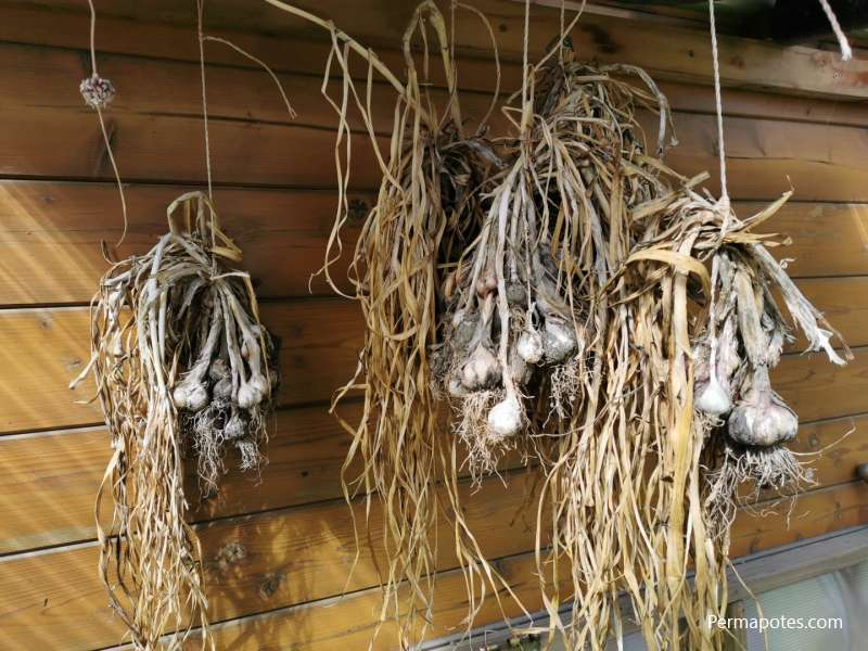When to plant garlic in the ga