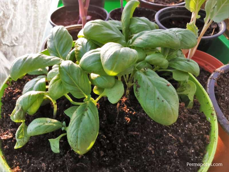 How do you store basil for months