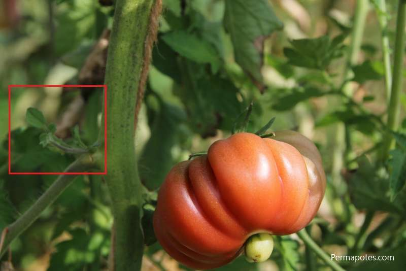 Faut il tailler gourmands tomates