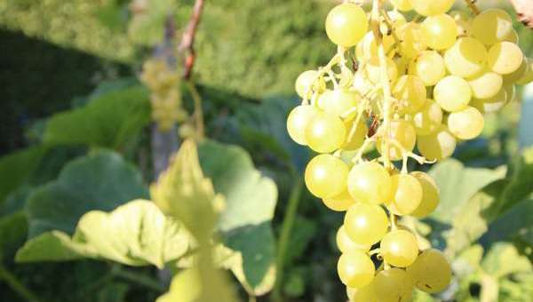 How to plant a vine in your garden?