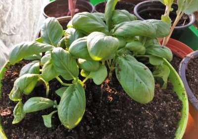 How do you store basil for months after harvesting?